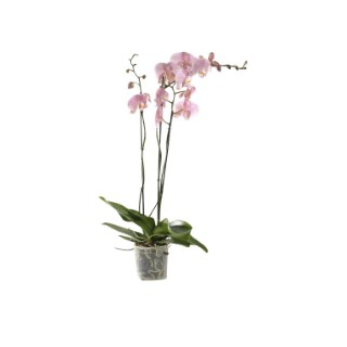 Phalaenopsis collection rose clair 2 br. Pot 12 cm