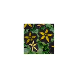 Pétunia mystic noir et jaune. Le pot de 12 x 12 cm
