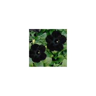 Pétunia retombant noir. Le pot de 12 x 12 cm
