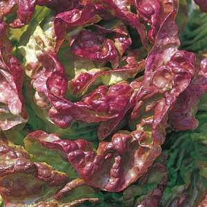 Laitue Merveille D'Hiver Rouge bio. La barquette de 12 plants