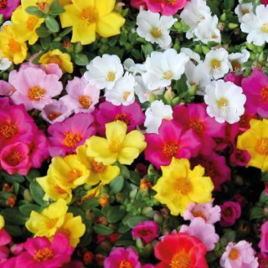 Pourpier à fleurs simples. Le pot de 12 x 12 cm