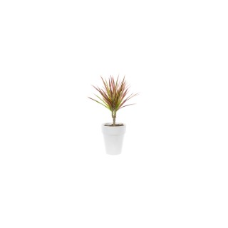 Dracaena colorama. Le pot de 15 cm