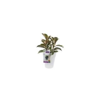 Ficus elastica. Le pot de 15 cm