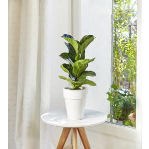 Ficus lyrata bambino. Le pot de 15 cm