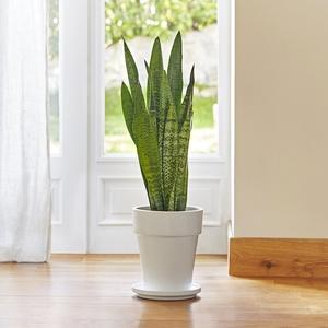 Sansevieria zeylanica. Le pot de 18 cm
