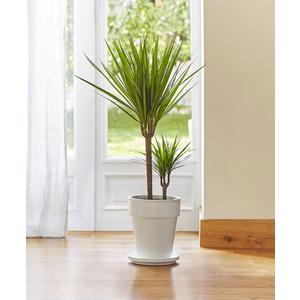 Dracaena marginata vert. Le pot de 21 cm