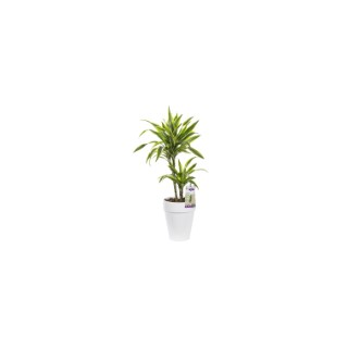 Dracaean lemon lime. Le pot de 21 cm