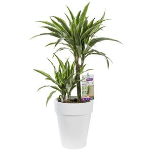 Dracaena warneckei. Le pot de 21 cm