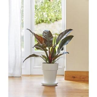 Philodendron imperial red. Le pot de 21 cm