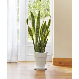 Sansevieria zeylanica. Le pot de 21 cm