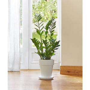 Zamioculcas lumi re sur la rustique et l gante plante - Plante interieur sans lumiere ...