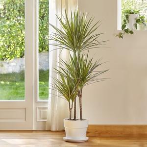 Dracaena marginata bicolor. Le pot de 26 cm