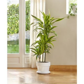 Dracaean lemon lime. Le pot de 26 cm