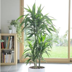 Dracaena warneckei. Le pot de 26 cm