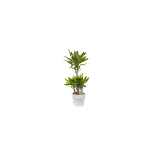 Dracaena yellow coast. Le pot de 26 cm