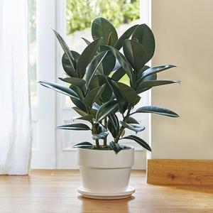 Ficus elastica abidjan. Le pot de 26 cm