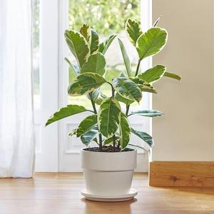Ficus elastica tineke. Le pot de 26 cm