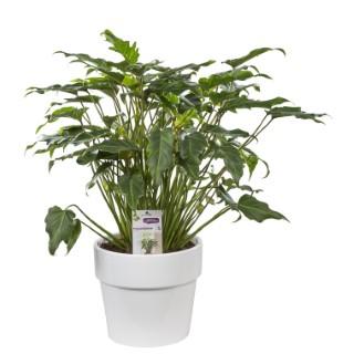 Philodendron xanadu. Le pot de 26 cm