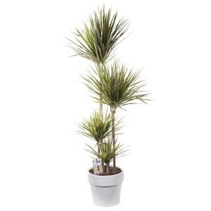 Dracaena marginata bicolor. Le pot de 31 cm