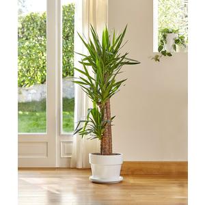 Yucca. Le pot de 31 cm