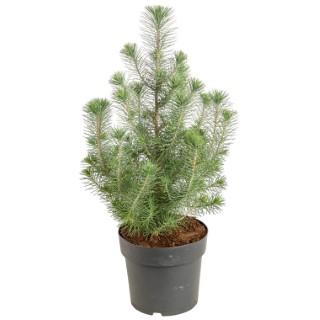 Pinus Pinea Sylver Crest. Le pot de 2.5 litres
