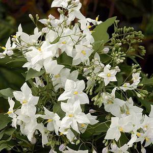 Solanum faux-jasmin blanc Le pot de 3 litres 100% recyclé