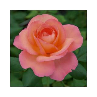 Rosiers plantes et jardin botanic for Rosier eglantia intropi