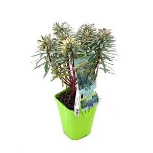 Euphorbia Characias Glacier Bleu®? en pot de 2 L bleu 294359