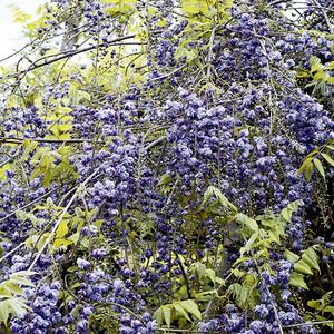 Glycine du Japon Violacea Plena (WISTERIA VIOLACEA PLENA) Le pot de 3 litres 100% recyclé 297459