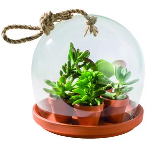 4 Plantes succulentes sous cloche Ø 22 x H 24 cm