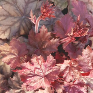 Heuchera Plum Power. Le pot de 2 litres