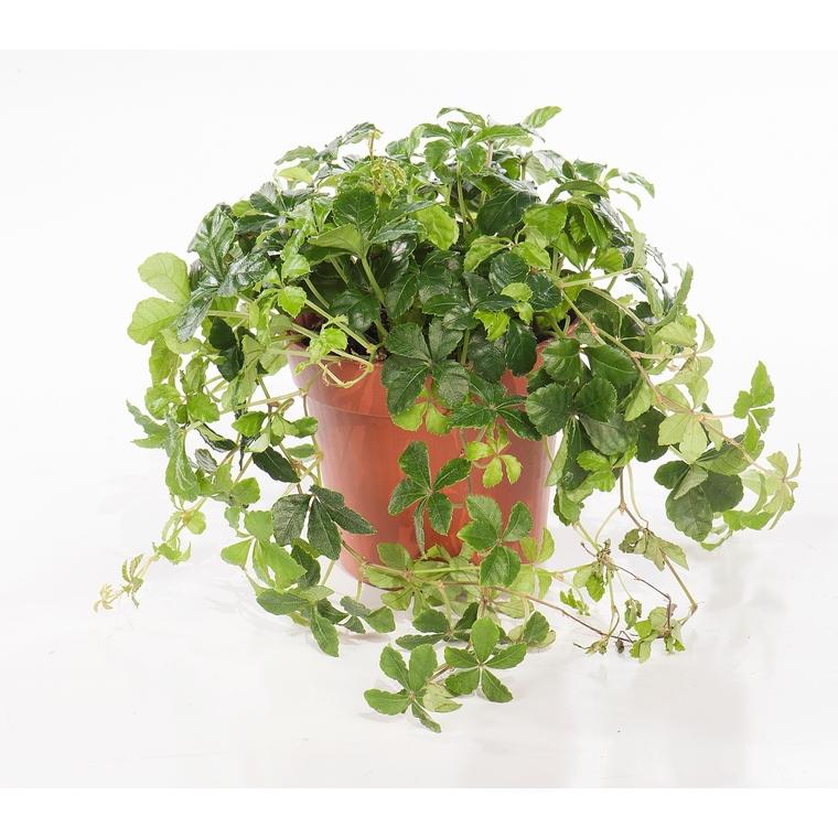 Plantes vertes plantes et fleurs d 39 int rieur et maison for Plantes vertes en ligne