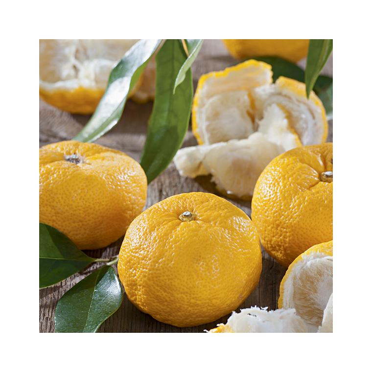 Citronnier Yuzu bio Le pot de 3 litres