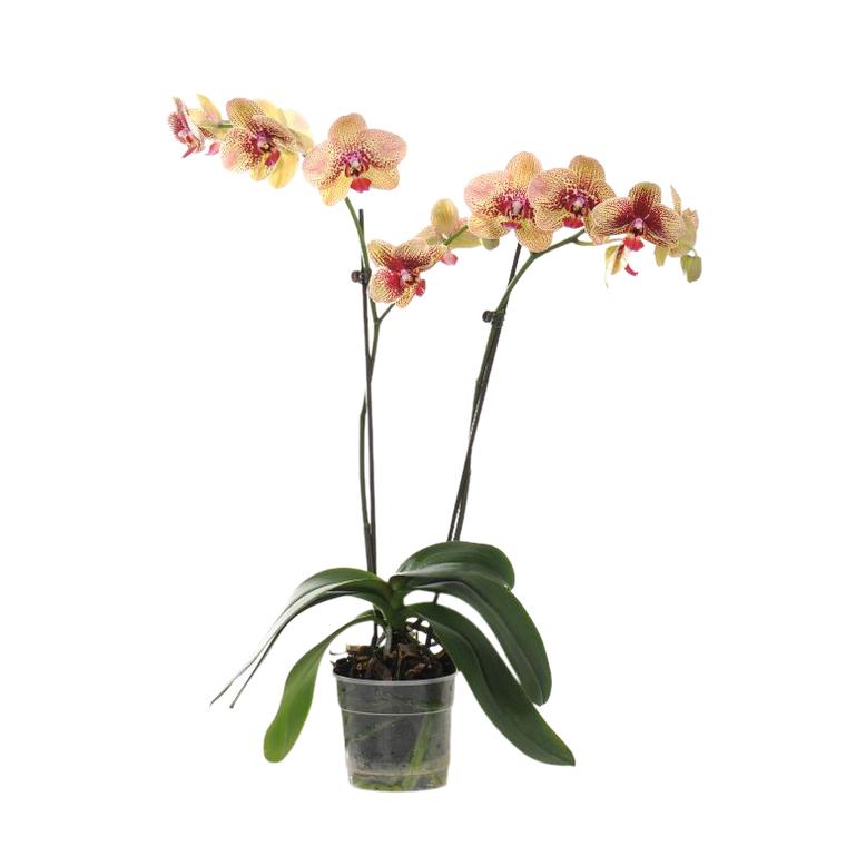 Orchid es plantes et fleurs d 39 int rieur et maison botanic - Arrosage orchidee d interieur ...