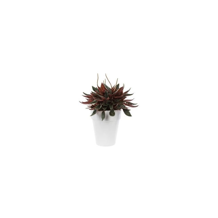 Peperomia rosso. Le pot de 15 cm