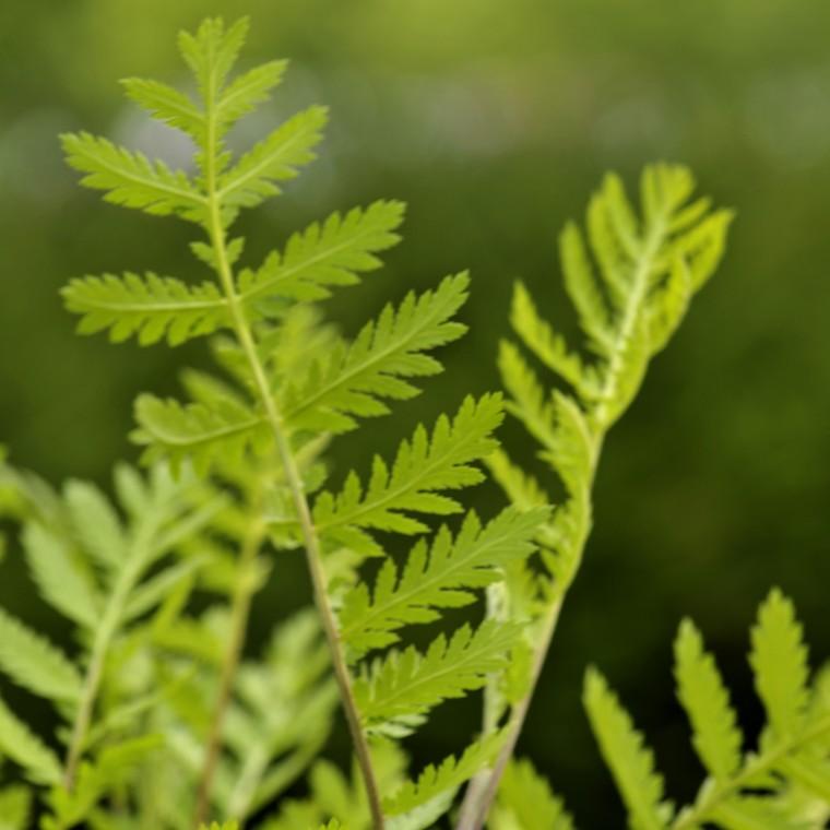 Plante répulsive Tanacetum. Le pot de 12 cm 217334