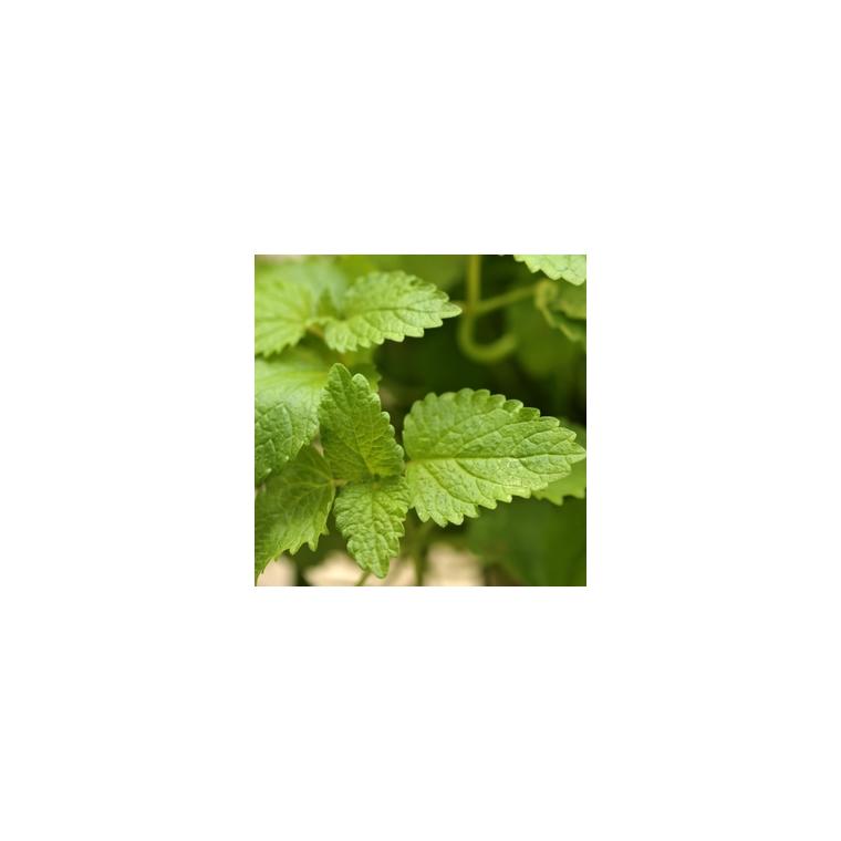 Plante répulsive Mélisse. Le pot de 12 cm 217336