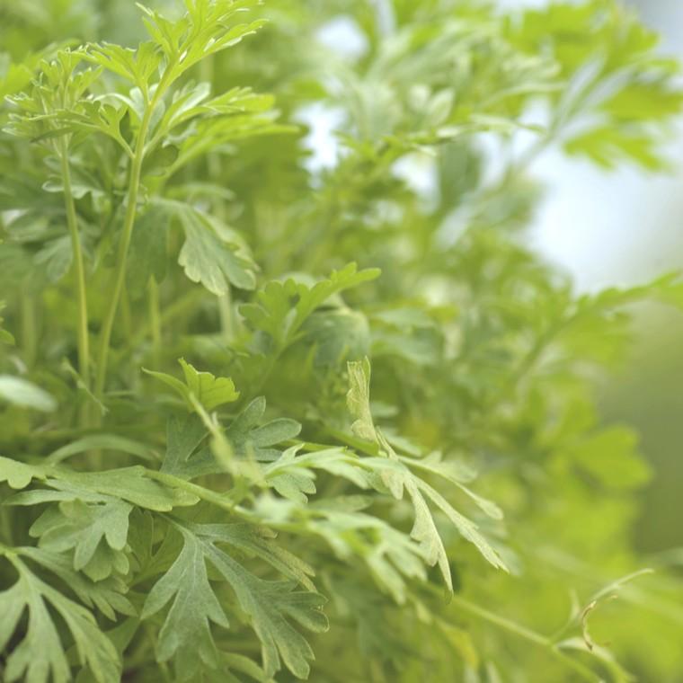 Plante répulsive Artemisia. Le pot de 12 cm 217342