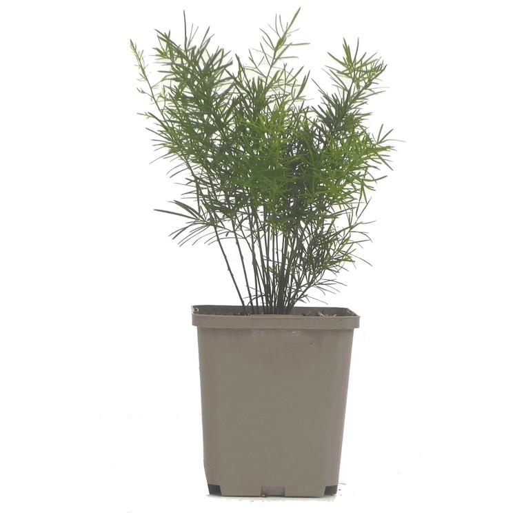 Asparagus. Le pot de 9 x 9 cm 217663