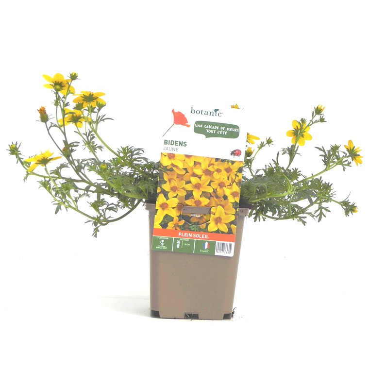 Bidens jaune. Le pot de 9 x 9 cm 217733