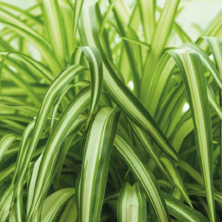 Chlorophytum. Le pot de 9 x 9 cm 217910