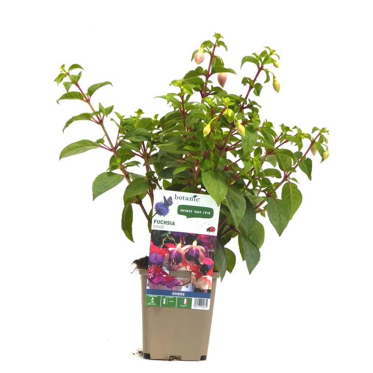 Fuchsia érigé. Le pot de 9 x 9 cm 217926