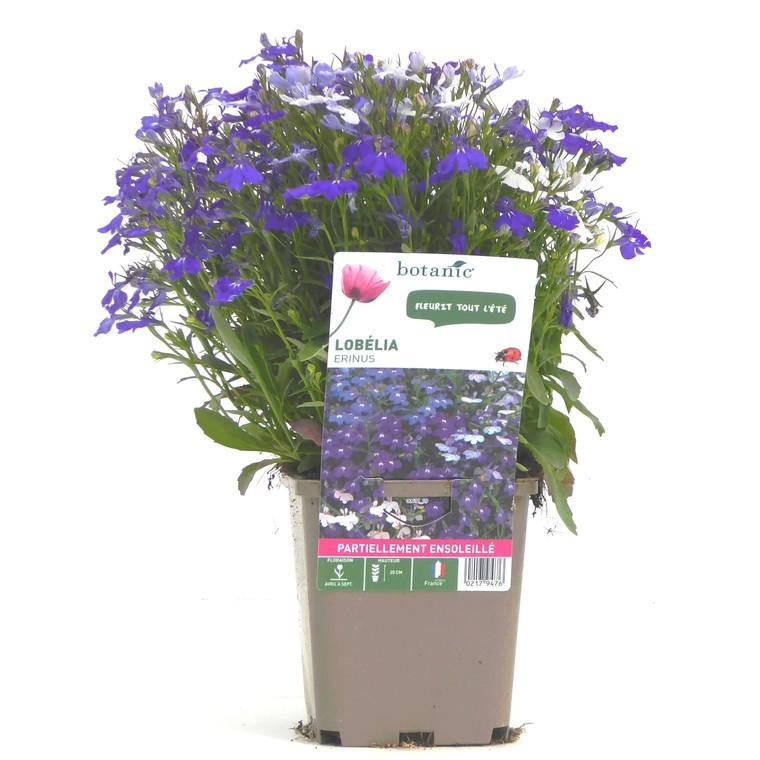 Lobélia buisson. Le pot de 9 x 9 cm 217947