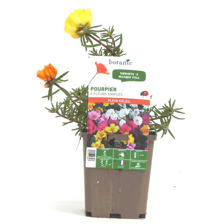 Pourpier à fleurs simples. Le pot de 9 x 9 cm 217981
