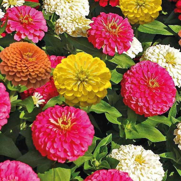 Zinnia à petites fleurs. Le pot de 9 x 9 cm 218007