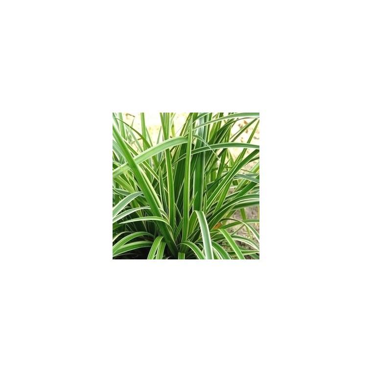 Carex Morrowi Ice Dance en pot de 2 L 218895