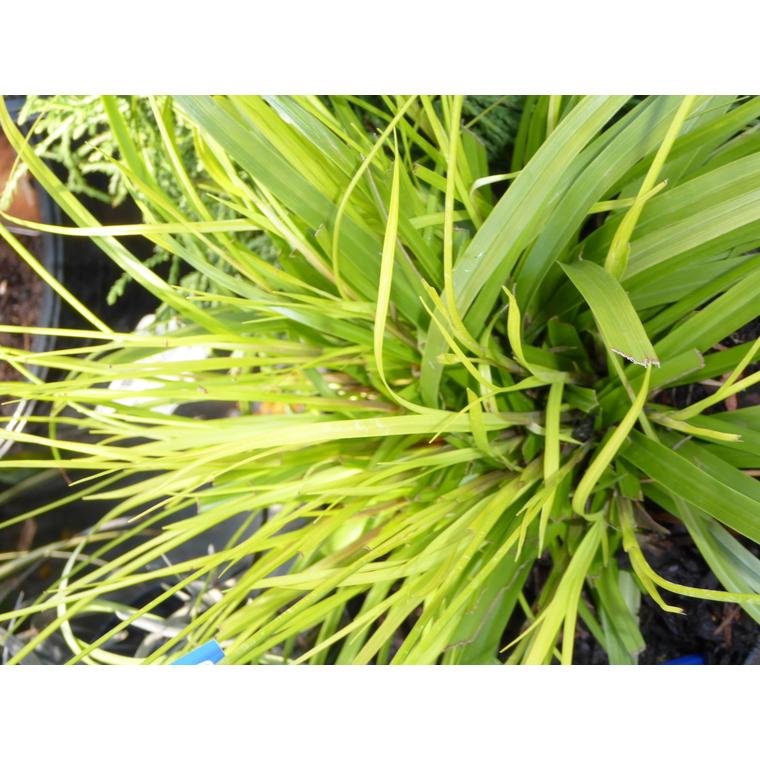 Carex Oshimensis Everillo jaune en pot de 2 L 218899