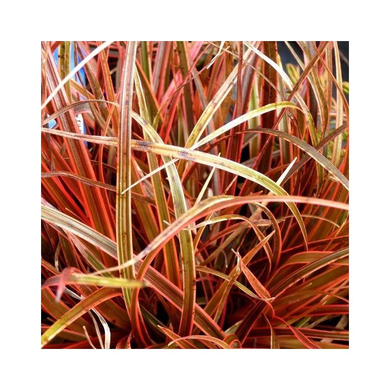 Uncinia Rubra rouge en pot de 2 L 218902