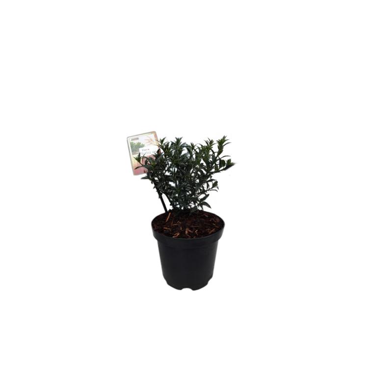 Houx Ilex Aquifolium Myrthifolia en pot de 2 L 218930