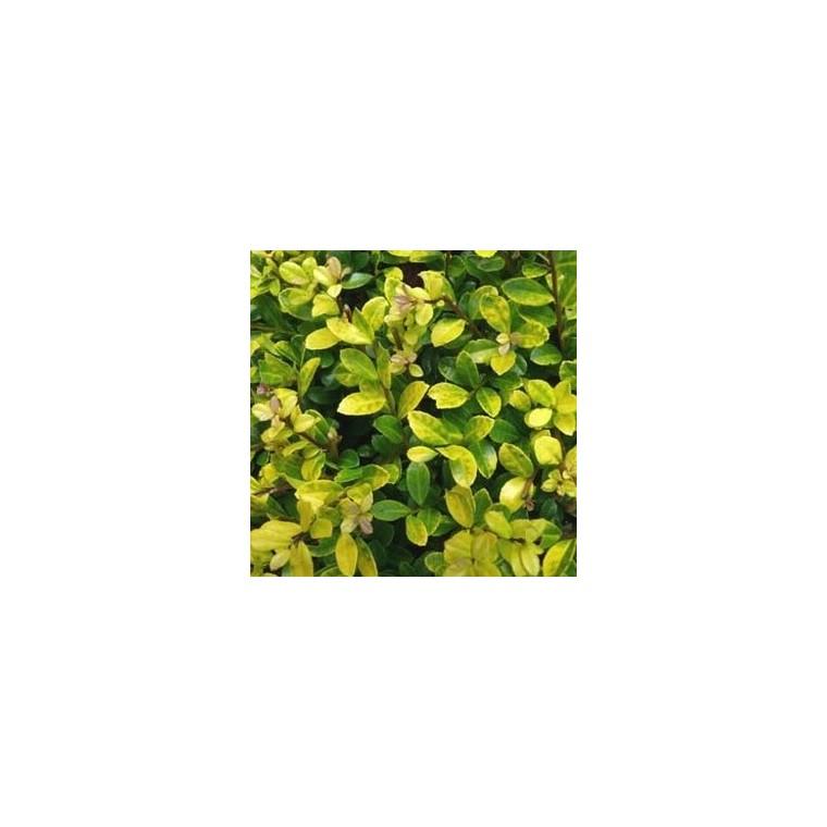 Houx Ilex Meserveae Little Rascal en pot de 2 L 218932